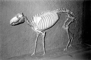 Eohippus skeleton